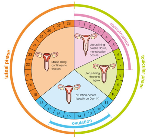 A handy-dandy diagram of the average menstrual cycle. (source: http://www.whatcontraceptiveareyou.com.au/your-cycle/)